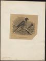Euphema venustus - 1700-1880 - Print - Iconographia Zoologica - Special Collections University of Amsterdam - UBA01 IZ18500025.tif