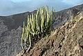 Euphorbia canariensis Tenerife 2012.jpg
