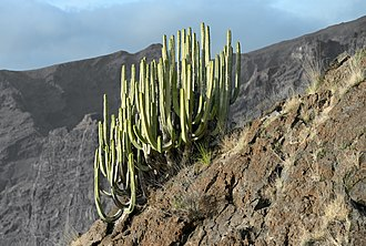 Euphorbia canariensis - Canary Island spurge close to the Mirador de Archipenque at Los Gigantes