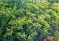 Euphorbia cyparissias 1.jpg