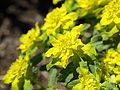 Euphorbia epithymoides-IMG 7206.JPG