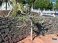 Euphorbia triangularis.JPG