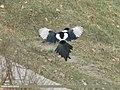 Eurasian Magpie (Pica pica bactriana) (15886118091).jpg