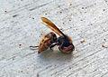European hornet.jpg
