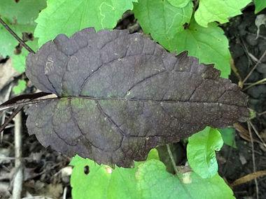 Eurybia divaricata SCA-04323.jpg