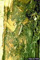 Euzophera semifuneralis2.jpg