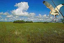 A white bird with black wingtips over green grass with trees in the distance