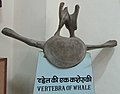 Exhibit of Vertibre of Whale at Regional Museum of Natural History,Bhopal,India.jpg