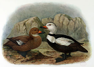 Labrador duck - Illustration by John Gerrard Keulemans of a female and male