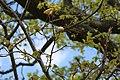 Fagales - Quercus robur - 006.jpg