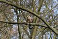 Falco tinnunculus -Parc de Sceaux, Hauts-de-Seine, Ile-de-France, France -mouse-8.jpg