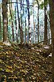 Fallen leaves @ Mount Royal @ Ville-Marie @ Montreal (30117392940).jpg