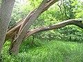 Fallen tree in woods near Wallington - geograph.org.uk - 16366.jpg