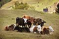 Family cows memory.jpg