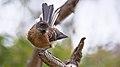 Fantail bird (face).jpg