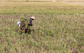 Farmer harvesting rice, Kampung Rawa 2014-06-20.jpg