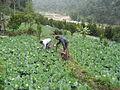 Farming at Kaski (2).JPG