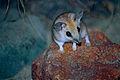 Fat-tailed Dunnart (Sminthopsis crassicaudata) (9998337766).jpg