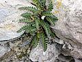 Felcetta alpina.JPG