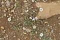 Felicia petiolata (Asteraceae) (6786091142).jpg