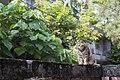 Felis silvestris catus (36381197023).jpg