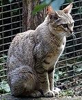 Felis silvestris lybica 1