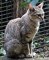 Felis silvestris lybica 1.jpg