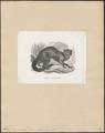 Felis yaguarundi - 1700-1880 - Print - Iconographia Zoologica - Special Collections University of Amsterdam - UBA01 IZ22100330.tif