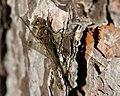 Female Common Darter (Sympetrum striolatum) - geograph.org.uk - 599906.jpg