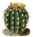 Ferocactus viridescens BlKakteenT177.jpg