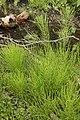 Field Horsetail (Equisetum arvense) - Kitchener, Ontario.jpg