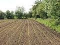 Field of maize seedlings - geograph.org.uk - 442573.jpg