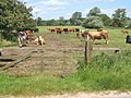 Field with cattle near the river Deben - geograph.org.uk - 859678.jpg