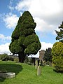 Fine-looking trees, St. Ethelbert's churchyard, Littledean - geograph.org.uk - 741623.jpg