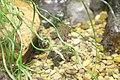Fire-bellied Toad (Bombina orientalis) (2864605168).jpg