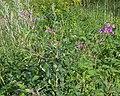 Fireweed (Chamaenerion angustifolium) - Oslo, Norway 2020-08-03 (02).jpg