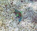 Fish 6 (30909085631).jpg