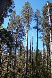 Viszalis lapuotis medis platanas