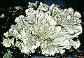 Flavoparmelia caperata-2.jpg