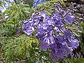 Fleur de Jacaranda.jpg