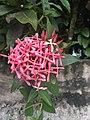 Fleur de cire Hoya.jpg