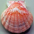 Flexopecten glaber (bald scallop) 5.jpg