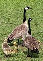 Flickr - Oregon Department of Fish & Wildlife - 6270 family of geese munsel.jpg