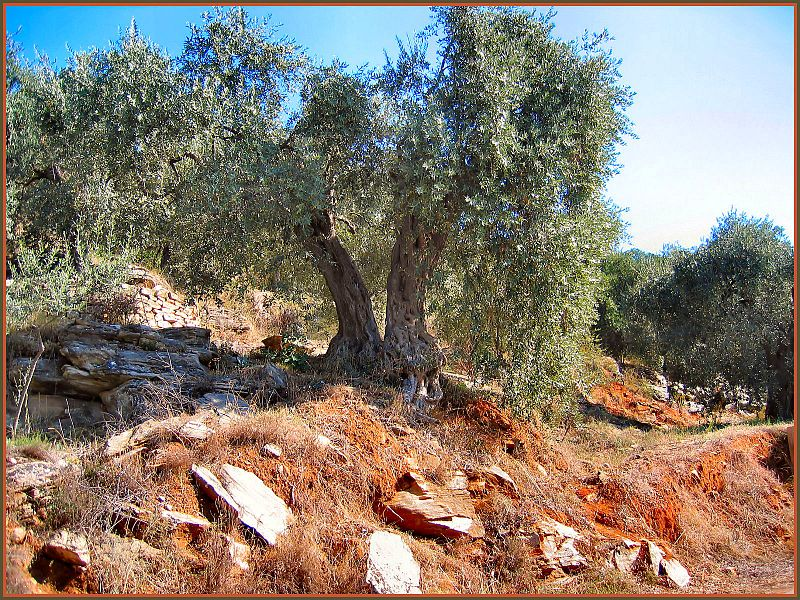 TWO OLIVE TREES // Larry Hunt Bible Commentary
