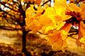 Flor de Araguaney.JPG