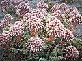 Flores de Verol.jpg