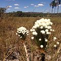 Flores do Serrado no fundo uma vereda.jpg