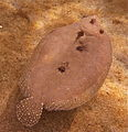 Flounder off Hawaiian coast (8366972808).jpg