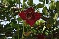 Flower of Kigelia africana (Sausage tree), Ghana.jpg
