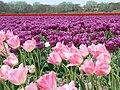 Flowerfields near Noordwijk (Netherlands 2007) (2475754287).jpg